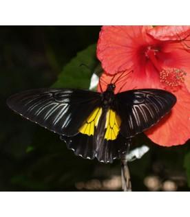 Troides Rhadamantus (Птицекрылка золотистая)